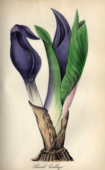 skunkcabbage011