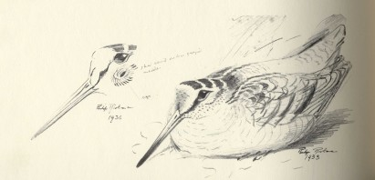 Rickman, Philip. A selection of bird paintings and sketches. London: Curpotten, 1979. Print.from the Richard L. Soffer (Class of 1954) Ornithology Collection