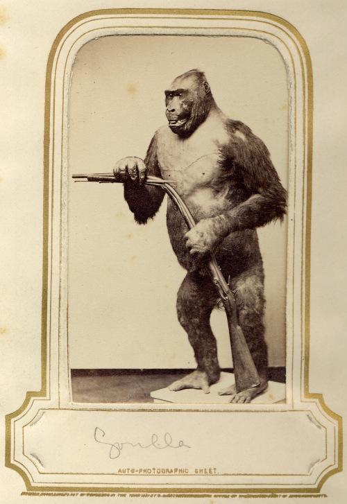 17-Appleton-Gorilla