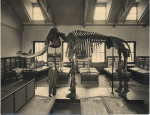 A man wearing a suit stands underneath the head of a huge mammoth skeleton.